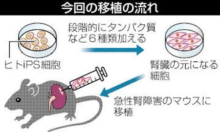 iPS细胞有望治愈慢性肾功能不全